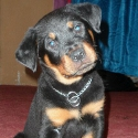 male rottweiler puppy pic