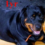 1 year old female Rottweiler photo