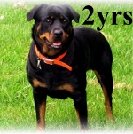 2 year old Rottie