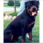 photo of one and half year old male Rottweiler