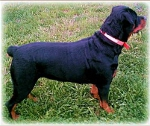 photo 6 month female Rottweiler