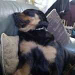 10 month Rottie pup sleeping on sofa