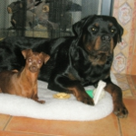 rottweiler and min pin photo