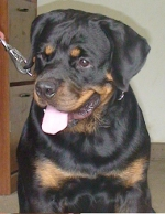 14 month rottie male photo