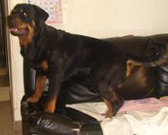 rottweiler puppy pic