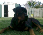 photo young male rottie