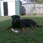 11 month male Rottweiler photo