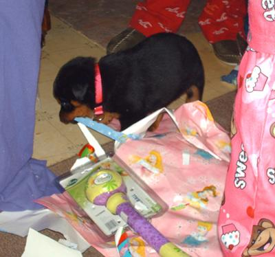 Rottweiler puppy at Christmas