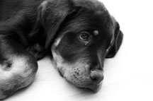 Sad little Rottweiler puppy - black and white photo