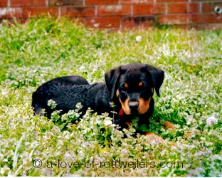 Beautiful Rottweiler Puppy 10 weeks