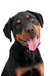 Beautiful and happy Rottweiler puppy