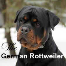 Choosing A Rottweiler Breeder A Love Of Rottweilers