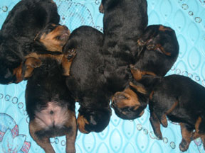 Rottweiler Puppy Growth Chart A Love Of Rottweilers