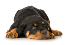 Rottweiler puppy lying down