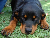 Rottweiler pup lying down