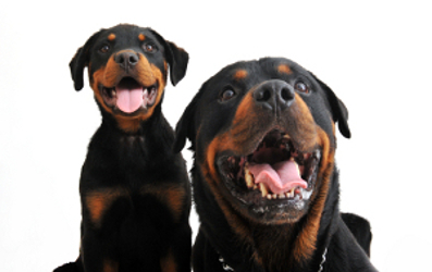 Well-groomed Rottweiler mom and puppy
