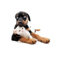 Rottweiler pup with kitten