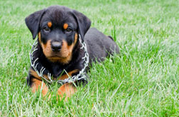 Rottweiler pup wearing a prong collar that's too big