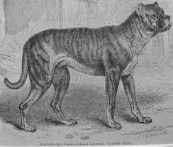 The Brindle Roman Rottweiler