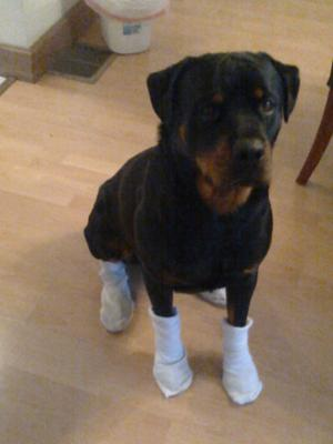 have you ever seen a rott that wears socks?? Mine does
