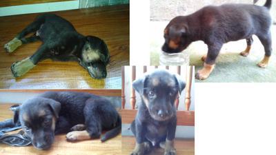 Best Dog Food For Rottweiler Puppy Philippines