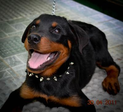 Best Food For Rottweilers With Allergies