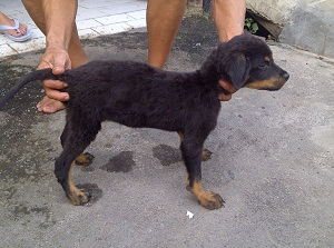 Rottweiler 5 Months Old Healthy Weight