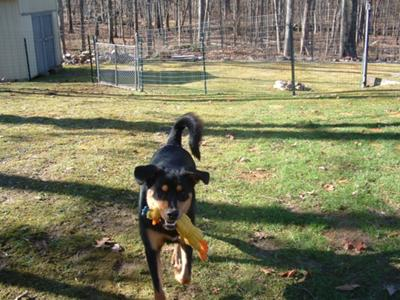 Rottweiler pup still chases the cat! | A-Love-Of-Rottweilers